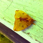 Io Moth - Closed